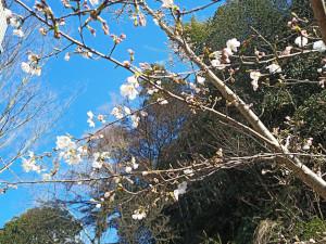 桜は来年も帰ってきます。人の命は帰ってきません